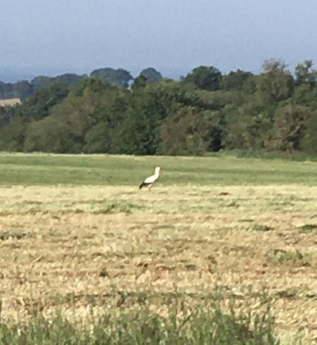 Cigogne blanche  - Robin Souriou