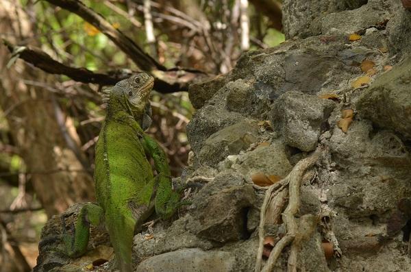 Iguane des Petites Antilles  - Thomas Monjoin