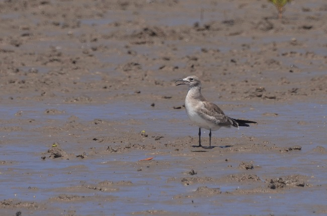 Mouette atricille  - Thomas Monjoin