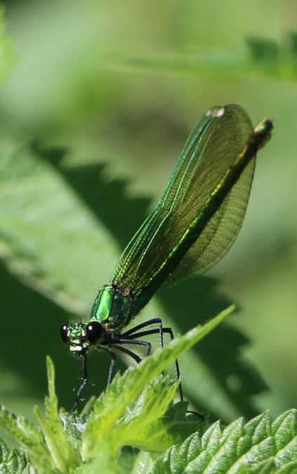 Caloptéryx éclatant  - Jean Louis Dupuy