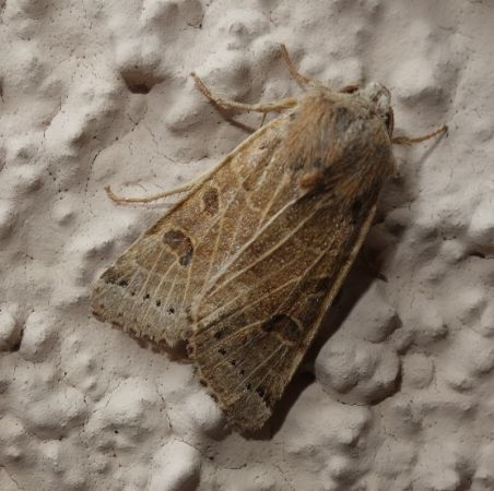 Omphaloscelis lunosa  - Charles Paillet