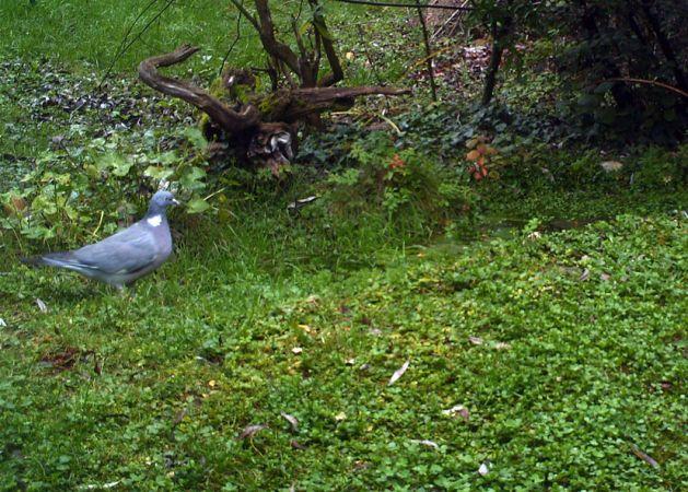 Pigeon ramier  - Mauricette Foucard