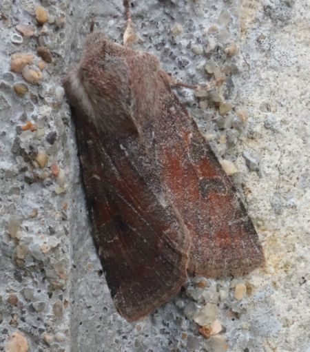 Orthosia incerta  - Charles Paillet