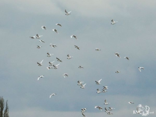 Mouette rieuse  - Jean-Luc Merot