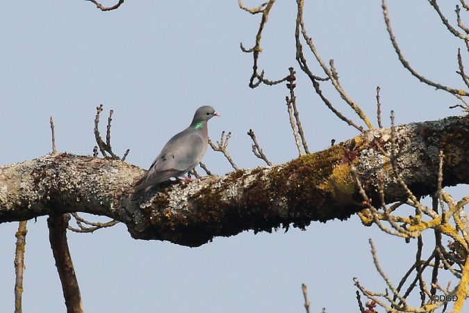 Pigeon colombin  - Daniel Dupuy