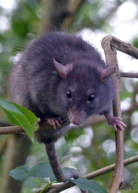 Rat noir  - Mauricette Foucard
