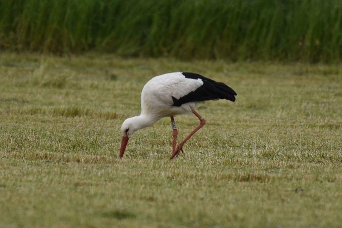Cigogne blanche  - Daniel Gaulard