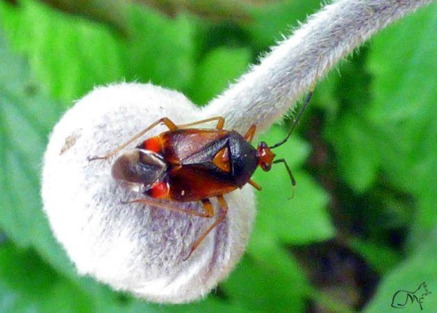 Deraeocoris (Deraeocoris) ruber  - Mauricette Foucard
