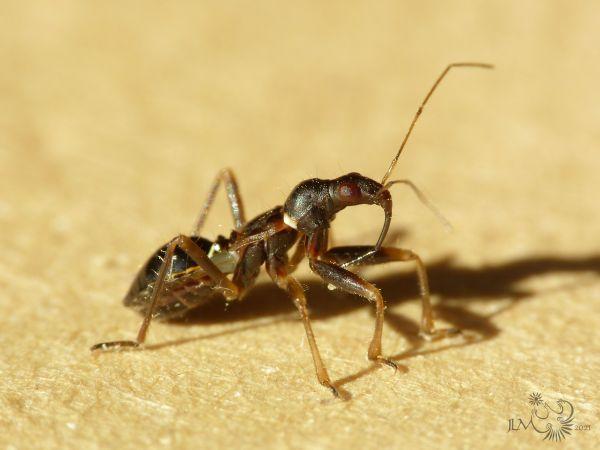 Himacerus (Aptus) mirmicoides  - Jean-Luc Merot