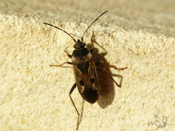 Rhyparochromus vulgaris  - Jean-Luc Merot