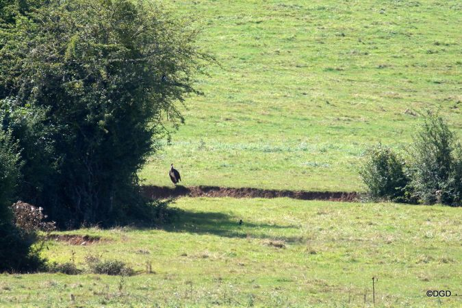 Cigogne noire  - Daniel Dupuy