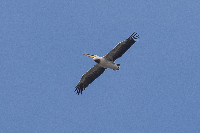 Hybride Pélican blanc x frisé  - Guillaume Brouard