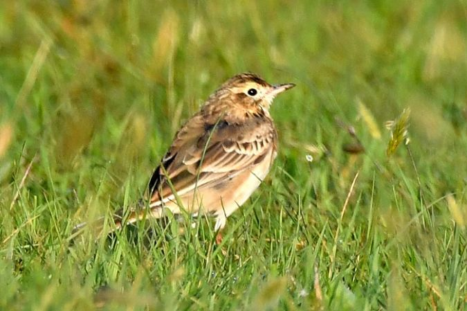 Pipit de Richard  - Christian Bury