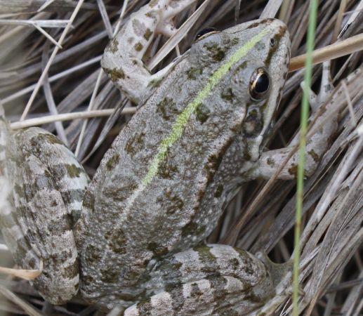 Grenouille verte indéterminée (Pelophylax sp.)  - Arnaud Roudil