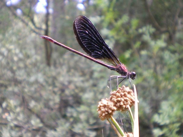 Caloptéryx hémorroïdal  - Flo Bonnel