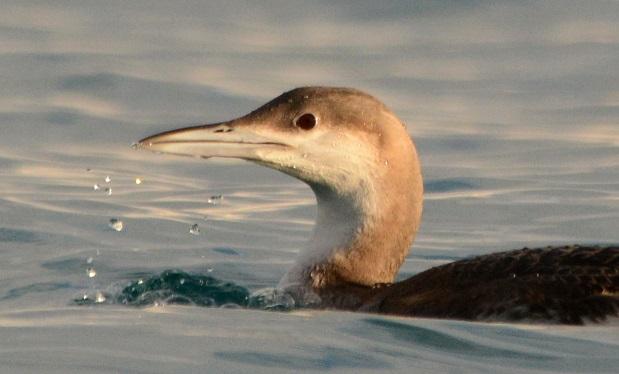 Plongeon arctique  - Gaetan Jouvenez