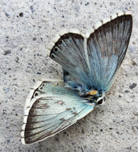 Argus bleu-nacré  - Jean-Luc Ferrière