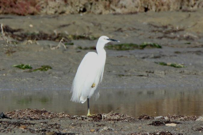 Aigrette garzette  - Dominique Huez