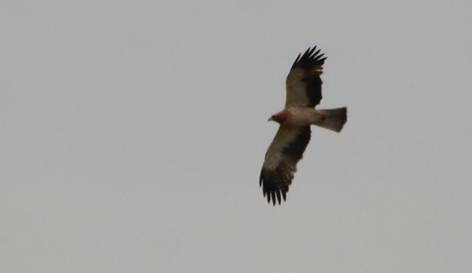 Aigle botté  - Gaetan Jouvenez