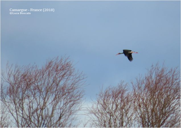 Cigogne noire  - Luca Boscain