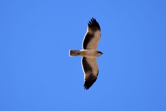 Aigle botté  - Muriel de Schoenmacker