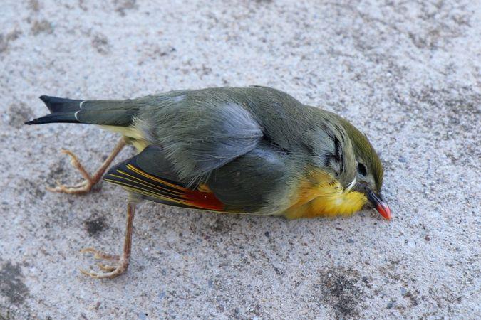 Léiothrix jaune  - Michel Belaud