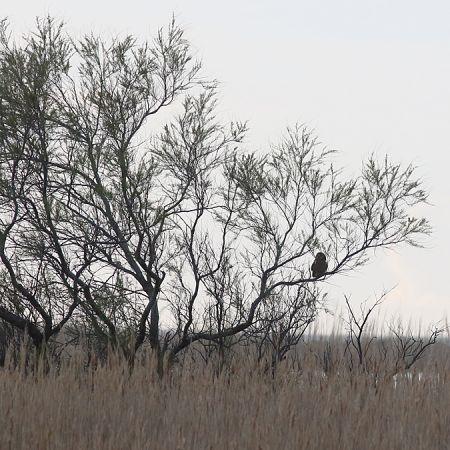 Hibou des marais  - Laurent Rouschmeyer