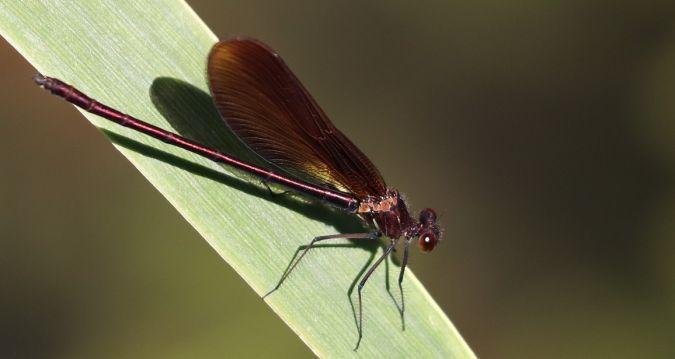Caloptéryx hémorroïdal  - Roger Barriere