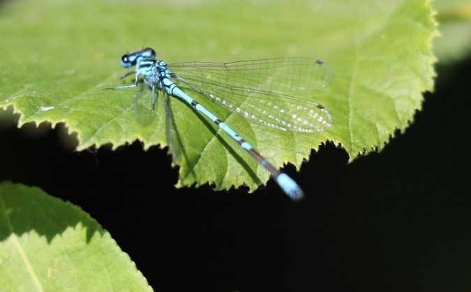 Agrion jouvencelle  - Roger Barriere