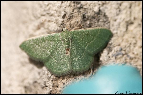 Phalène verte des ombellifères  - Vincent Lemoine