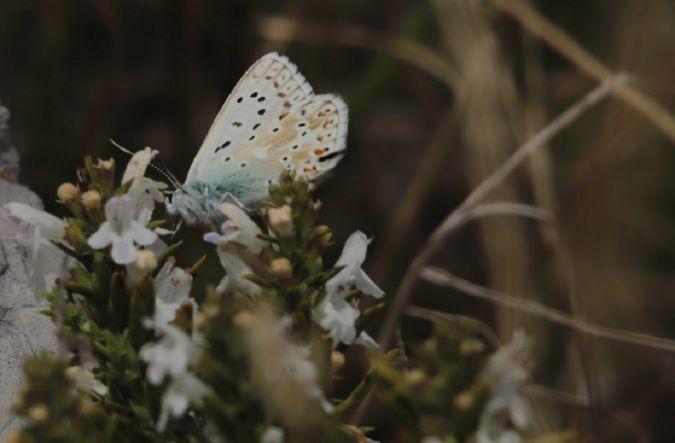 Bleu-nacré (Argus bleu-nacré)  - Yves et Margareth Veret