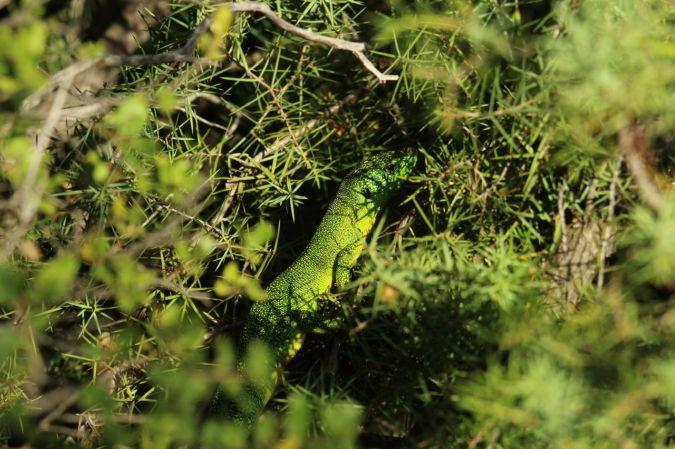 Lézard à deux raies (L. vert occidental)  - Antoine Coquis
