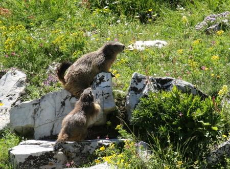 Marmotte des Alpes  - Albert Galzin