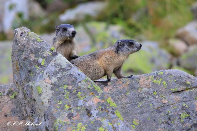 Marmotte des Alpes  - Fabienne et Patrick Thibaut