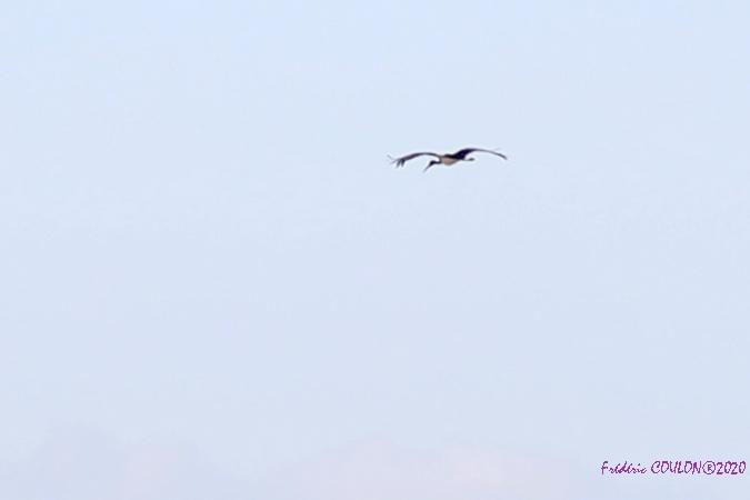 Cigogne noire  - Frederic Coulon