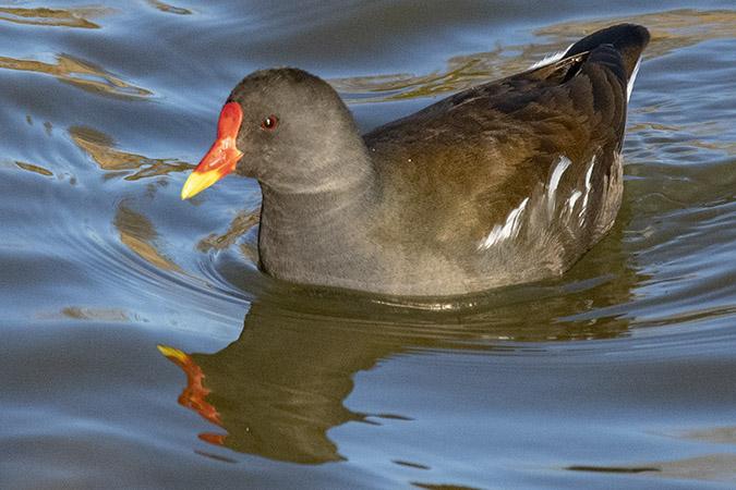 Gallinule poule-d'eau  - Claude Agnes