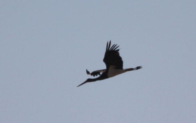 Cigogne noire  - Antoine Coquis