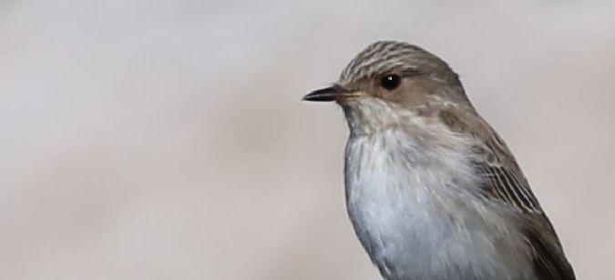 Gobemouche gris (M.s.tyrrhenica / balearica)  - Gael Barrera