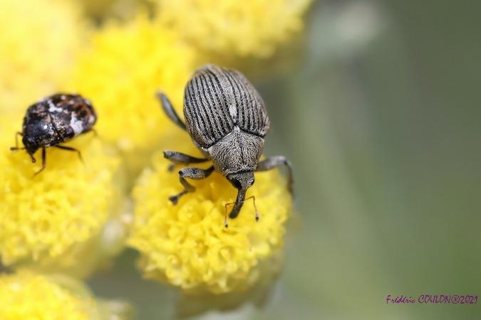Curculionidae sp.  - Frederic Coulon