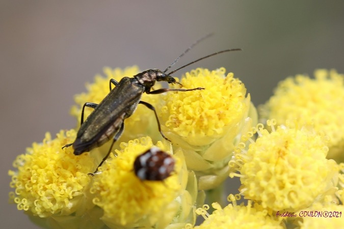 Oedemera flavipes  - Frederic Coulon
