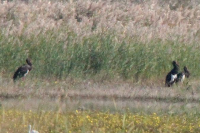 Cigogne noire  - Dominique Huez