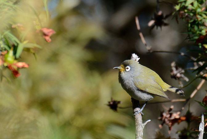 Oiseau-lunettes vert  - Michel Yerokine