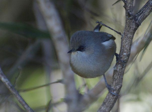 Oiseau-lunettes gris  - Michel Yerokine