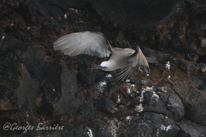 Noddi brun  - Georges Barriere