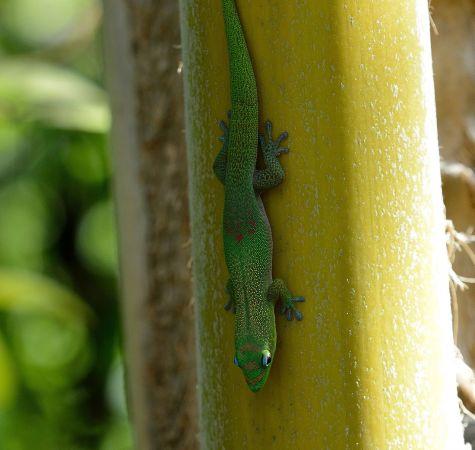 Gecko vert à trois taches rouges  - Michel Yerokine