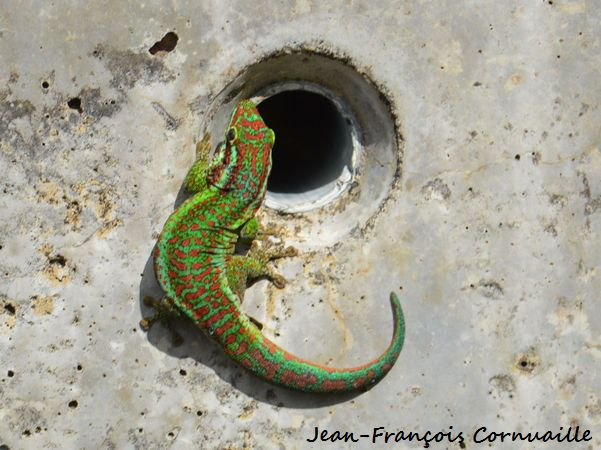 Gecko vert de Bourbon  - Jean-Francois Cornuaille