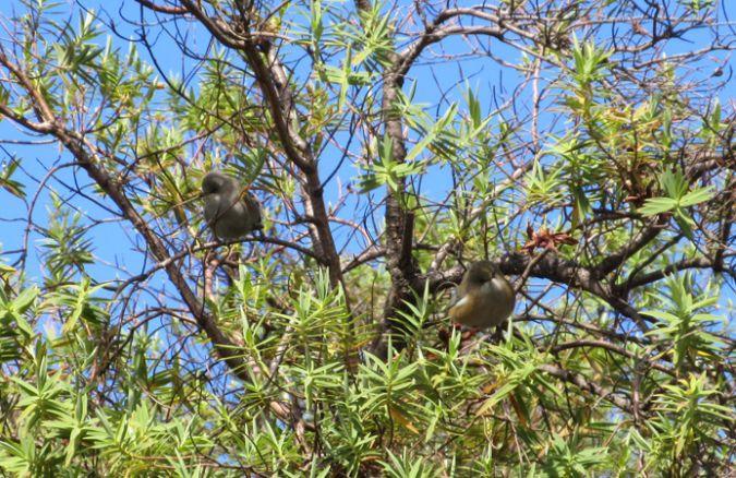 Oiseau-lunettes gris (Zostérops des Mascareignes)  - Valérie Méry