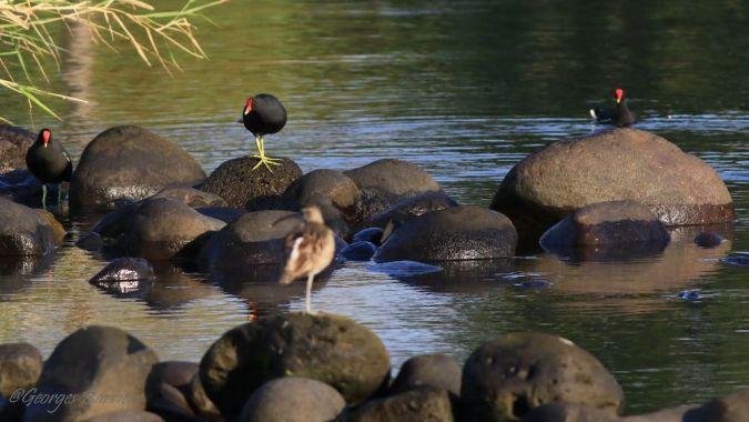 Gallinule poule-d'eau (pyrrhorrhoa)  - Georges Barriere