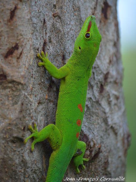 Gecko vert à points rouges  - Jean-Francois Cornuaille