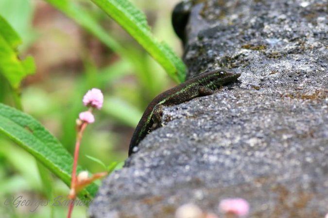 Gecko vert de Bourbon  - Georges Barriere